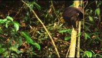 A Capuchin monkey climbs down a tree.