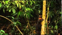Capuchin monkey climbing down a tree.